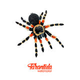 Watercolor spider tarantula Royalty Free Stock Photos