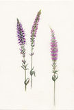 Watercolor sprigs of violet field salvia Royalty Free Stock Image