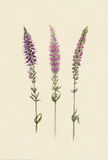 Watercolor sprigs of violet field salvia Stock Photography
