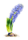Watercolor spring blue flower royalty free illustration