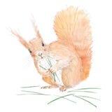 Watercolor Squirrel. vector illustration