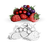 Watercolor strawberries and currents Stock Image