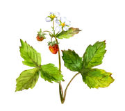 Watercolor strawberry bush Stock Photos