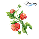 Watercolor strawberry Stock Photos