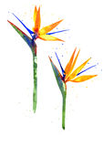 Watercolor Strelitzia flower Royalty Free Stock Photography
