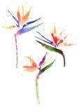 Watercolor Strelitzia flower Stock Photos