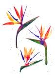 Watercolor Strelitzia flower Stock Photo