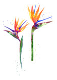 Watercolor Strelitzia flower Royalty Free Stock Image