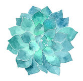 Watercolor succulent Echeveria illustration Royalty Free Stock Photos