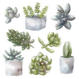 Watercolor succulent green plants collection illustration, isolated on white background Royalty Free Stock Image