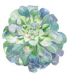 Watercolor succulent plant. Handpainted with watercolor paint Royalty Free Stock Photo