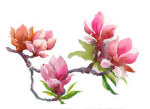 Watercolor Summer blooming magnolia flowers. Royalty Free Stock Photography