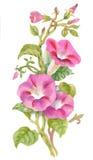 Watercolor Summer garden blooming Bind Weed buds flowers. Stock Images
