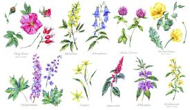 Watercolor summer set of medicinal flowers, Botany collection. Watercolor set of summer medicinal flowers, wildflowers. Botanical collection isolated on white Stock Photography