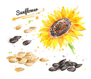 Watercolor sunflower and pile of seeds. Watercolor illustration of sunflower, pile of seeds peeled and unpeeled and paint smudges and splashes Stock Photography