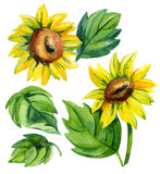 Watercolor sunflower set Royalty Free Stock Photos