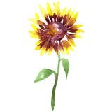 Watercolor sunflower. Vector watercolor yellow sunflower on a stalk with leaves at white background, hand drawn vector illustration Stock Photos