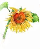 Watercolor sunflower. A watercolor sunflower on white background Royalty Free Illustration
