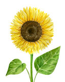 Watercolor sunflower on white. Sunflower painted with watercolor on white background royalty free illustration