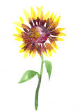 Watercolor sunflower. Watercolor yellow sunflower on a stalk with leaves at white background, hand drawn  illustration Royalty Free Stock Photo