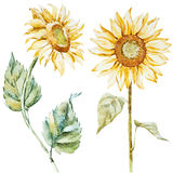 Watercolor sunflowers Stock Image
