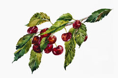 Watercolor sweet cherries brunch. Watercolor painting of sweet cherries brunch wuth leaves and berries Stock Image