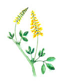Watercolor sweet clover. Stock Image