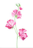 Watercolor sweet pea flowers on white background stock illustration