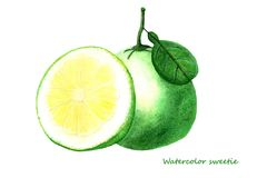 Watercolor sweetie fruit. Isolated citrus fruit illustration. On white background Royalty Free Stock Photography