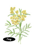 Watercolor Tansy botanical illustration.