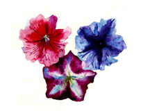 Watercolor three multi color petunias flower head. Botany illustration  on white background original watercolor three multi color petunias flower head Royalty Free Stock Photos