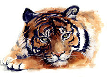 Watercolor tiger. Wild animal illustration. Beautiful tiger. Watercolor sketch. Watercolor beauty animals. Watercolor wild animals. Watercolor wild cat on a Stock Photography