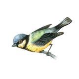 Watercolor tit bird vector illustration