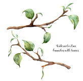 Watercolor tree branches with leaves. Hand painted floral illustration isolated on white background. Spring elements for Royalty Free Stock Photos