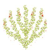 Watercolor tree bush of thin branches with green leaves and tender light peach orange flowers with petals beautiful isolated on wh. Watercolor tree bush of thin Stock Photos