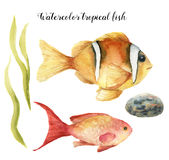 Watercolor tropical fish. Hand painted Sea goldie and Clownfish, seaweed, stone isolated on white background. Underwater. Animal illustration for design, fabric Royalty Free Stock Photo