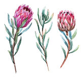 Watercolor tropical flower protea Royalty Free Stock Photos