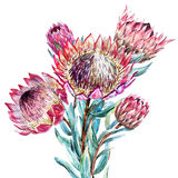 Watercolor tropical flower protea Stock Photo
