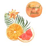 Watercolor tropical illustration with orange and grapefruit on white background vector illustration