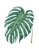 Watercolor tropical leave. Monstera deliciosa Royalty Free Stock Photo