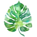 Watercolor tropical monstera leaf. Exotic plant illustration. Isolated royalty free illustration