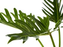 Watercolor tropical philodendron xanadu leaf royalty free stock images