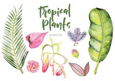 Watercolor tropical plants isolated clipart on white background. Watercolor tropical plants illustration with banana leaves, palm leaves vector illustration