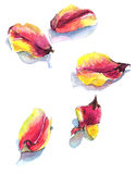 Watercolor with tulip petals on white Royalty Free Stock Photo