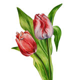 Watercolor tulips. Illustration for greeting cards, postcards, invitations  etc Royalty Free Stock Images