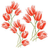 Watercolor tulips on an isolated background. Watercolor red tulips on an isolated background stock illustration