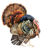 Watercolor turkey isolated on the white background Stock Images