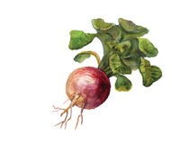 Watercolor turnip Royalty Free Stock Images