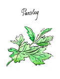 Watercolor twig of parsley Royalty Free Stock Photography