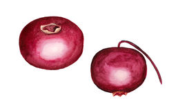 Watercolor two cranberries. Watercolor image of two cranberries on white background Royalty Free Stock Image